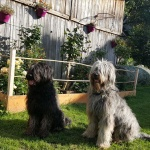 grey and blue briard